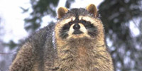 Raccoon Removal Services