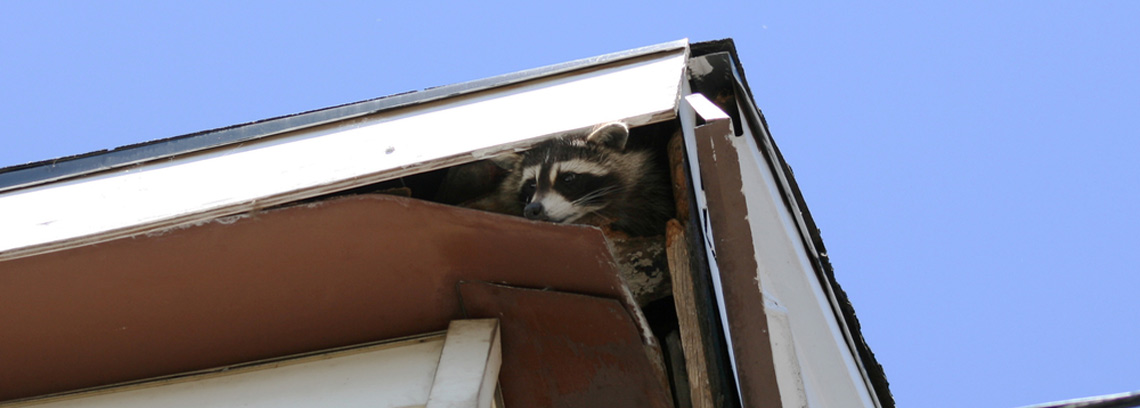Raccoons Inside My House