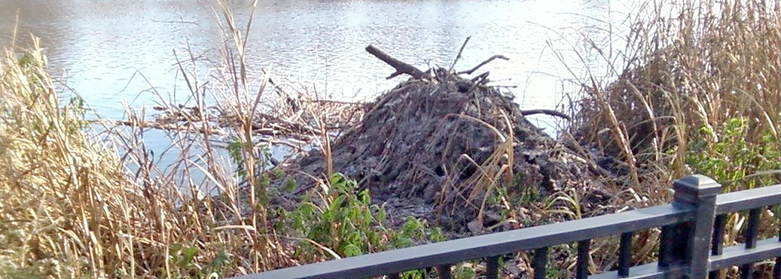 Oh No – Not Beavers in my Neighborhood