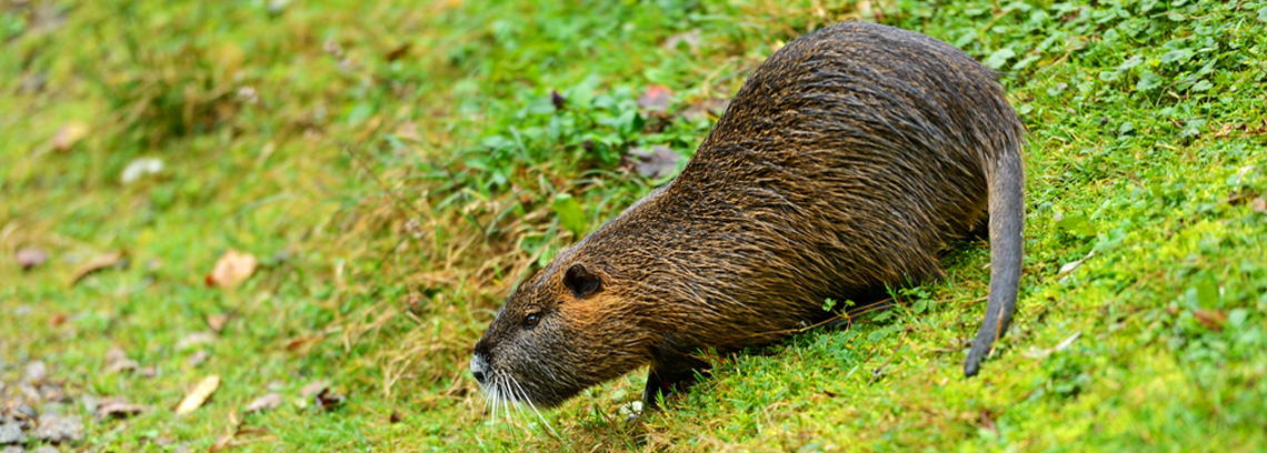Muskrats on Your Lake Norman Property